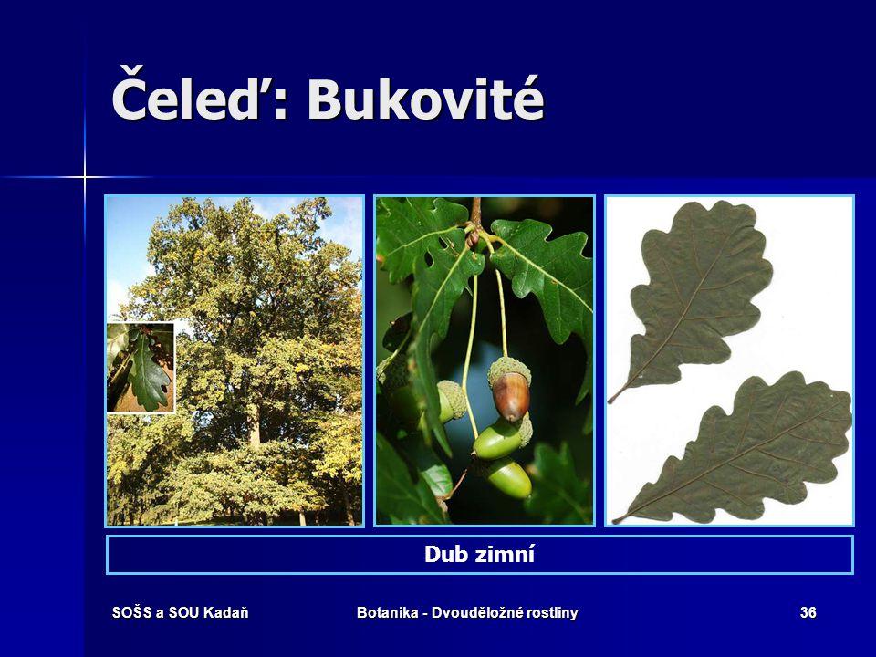 SOŠS a SOU KadaňBotanika - Dvouděložné rostliny35 Čeleď: Bukovité Dub letní