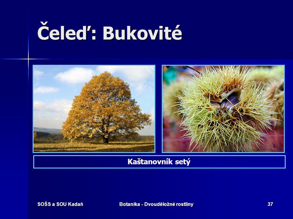 SOŠS a SOU KadaňBotanika - Dvouděložné rostliny36 Čeleď: Bukovité Dub zimní