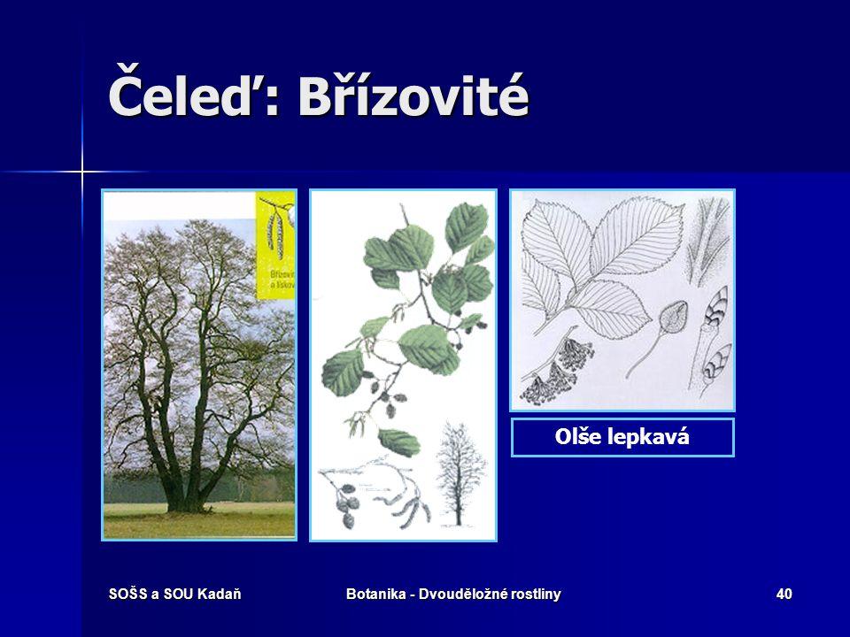 SOŠS a SOU KadaňBotanika - Dvouděložné rostliny39 Čeleď: Břízovité Bříza bělokorá