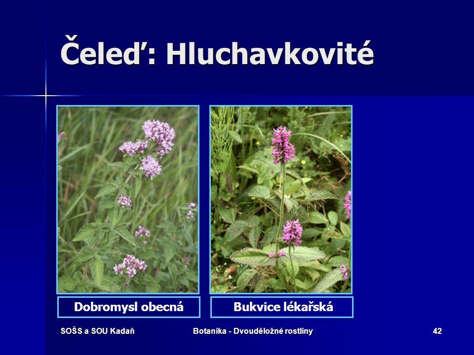 SOŠS a SOU KadaňBotanika - Dvouděložné rostliny41 Čeleď: Hluchavkovité Byliny, polokeře, vzácně i keře nebo stromy. Byliny, polokeře, vzácně i keře ne