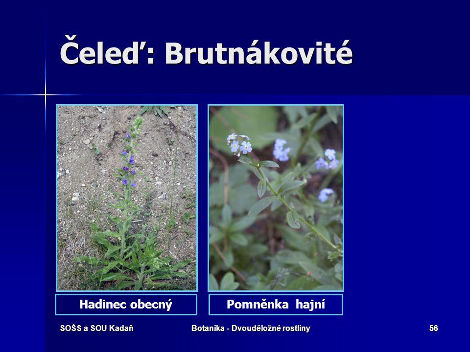 SOŠS a SOU KadaňBotanika - Dvouděložné rostliny55 Čeleď: Brutnákovité Drsně chlupaté, jednoleté až vytrvalé byliny. Lodyhy přímé, listy v přízemní růž