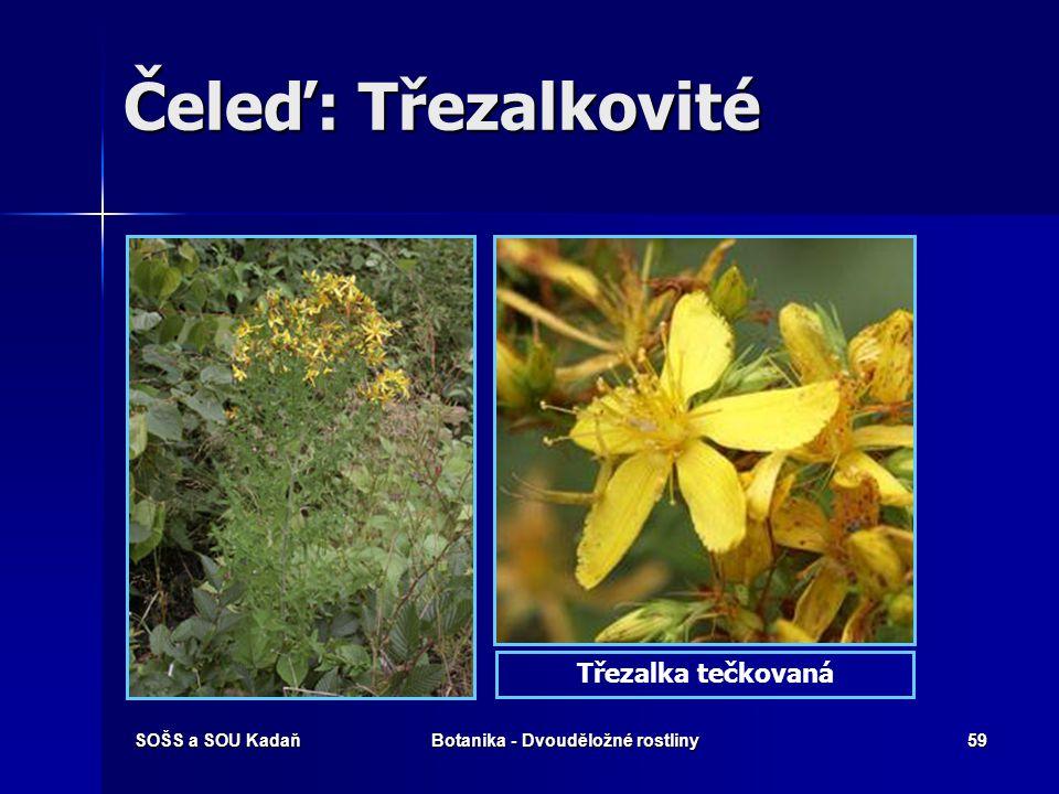 SOŠS a SOU KadaňBotanika - Dvouděložné rostliny58 Čeleď: Třezalkovité Květy pravidelné, 5-četné, oboupohlavné, ve vrcholičnatých květenstvích i jednot