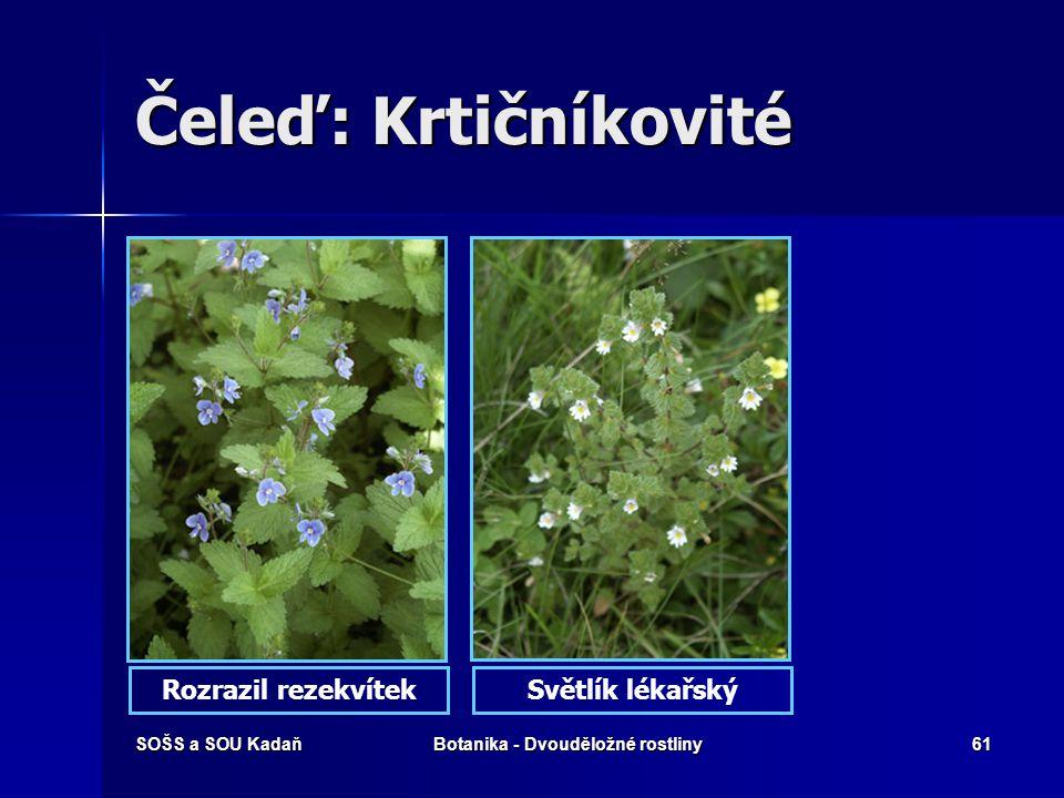 SOŠS a SOU KadaňBotanika - Dvouděložné rostliny60 Čeleď: Krtičníkovité Čeleď krtičníkovitých zahrnuje byliny, případně keře nebo stromy. Čeleď krtiční