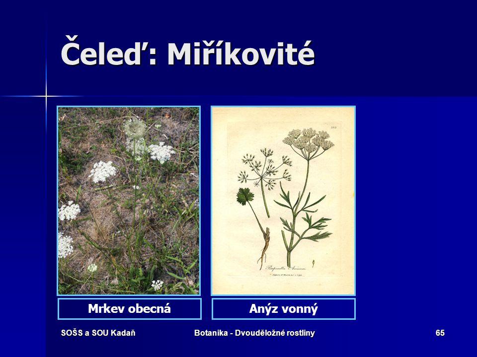 SOŠS a SOU KadaňBotanika - Dvouděložné rostliny64 Čeleď: Miříkovité Květenství - okolík Květenství – složený okolík s obaly a obalíčky