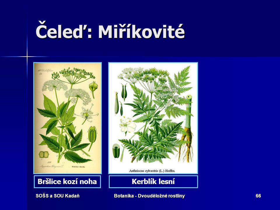 SOŠS a SOU KadaňBotanika - Dvouděložné rostliny65 Čeleď: Miříkovité Mrkev obecnáAnýz vonný