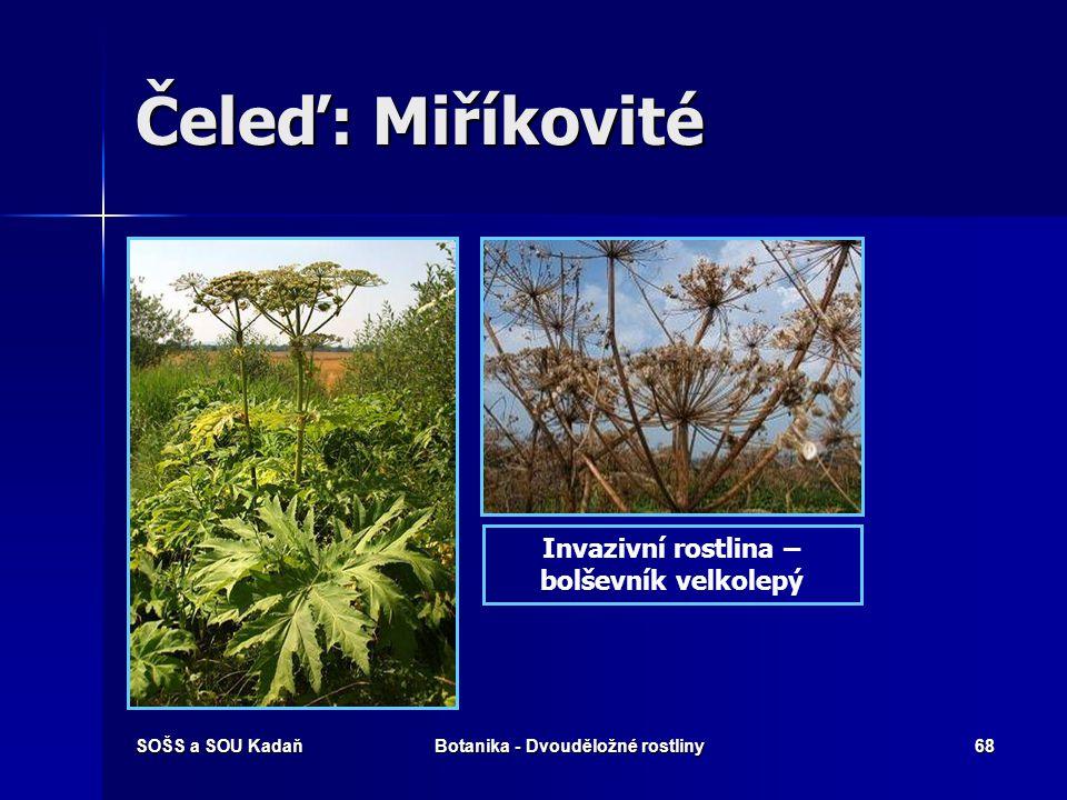 SOŠS a SOU KadaňBotanika - Dvouděložné rostliny67 Čeleď: Miříkovité Šťáva z lodyh a listů této rostliny obsahuje furanokumariny, které spolu s následn