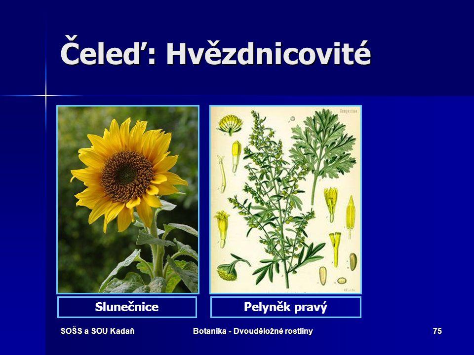 SOŠS a SOU KadaňBotanika - Dvouděložné rostliny74 Čeleď: Hvězdnicovité Hvězdnice alpská Květenství úbor, jazykovité květy na okraji, trubkovité květy