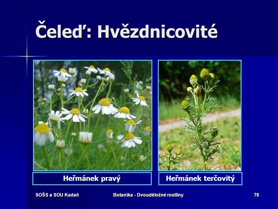 SOŠS a SOU KadaňBotanika - Dvouděložné rostliny75 Čeleď: Hvězdnicovité SlunečnicePelyněk pravý