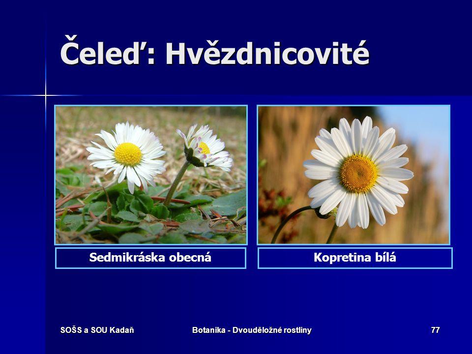 SOŠS a SOU KadaňBotanika - Dvouděložné rostliny76 Čeleď: Hvězdnicovité Heřmánek pravýHeřmánek terčovitý
