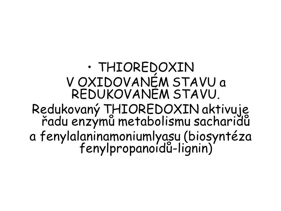 THIOREDOXIN V OXIDOVANÉM STAVU a REDUKOVANÉM STAVU. Redukovaný THIOREDOXIN aktivuje řadu enzymů metabolismu sacharidů a fenylalaninamoniumlyasu (biosy