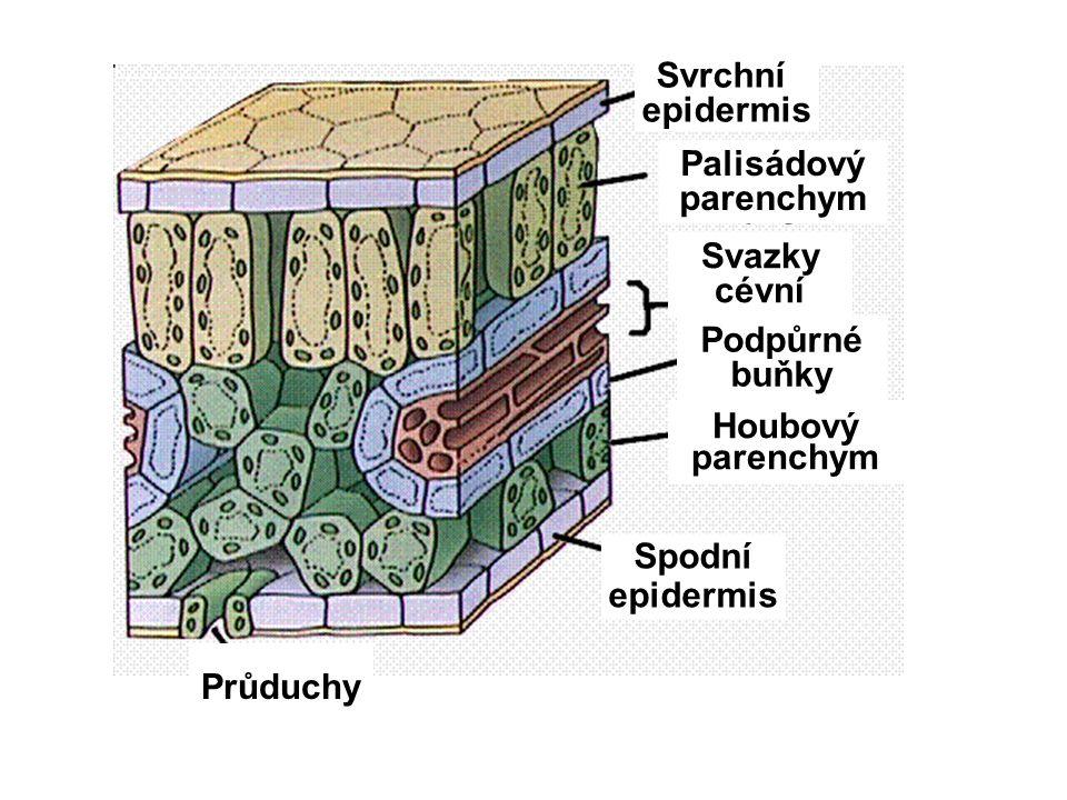 Svrchní epidermis Spodní epidermis Svazky cévní Podpůrné buňky Průduchy Houbový parenchym Palisádový parenchym