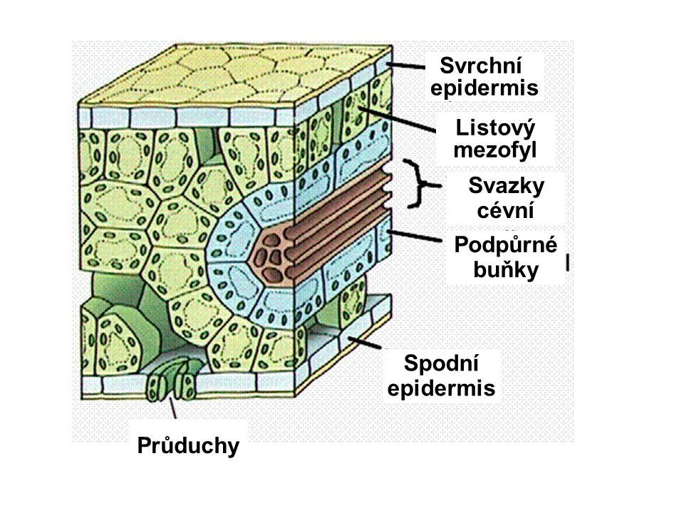 Svrchní epidermis Listový mezofyl Spodní epidermis Svazky cévní Podpůrné buňky Průduchy