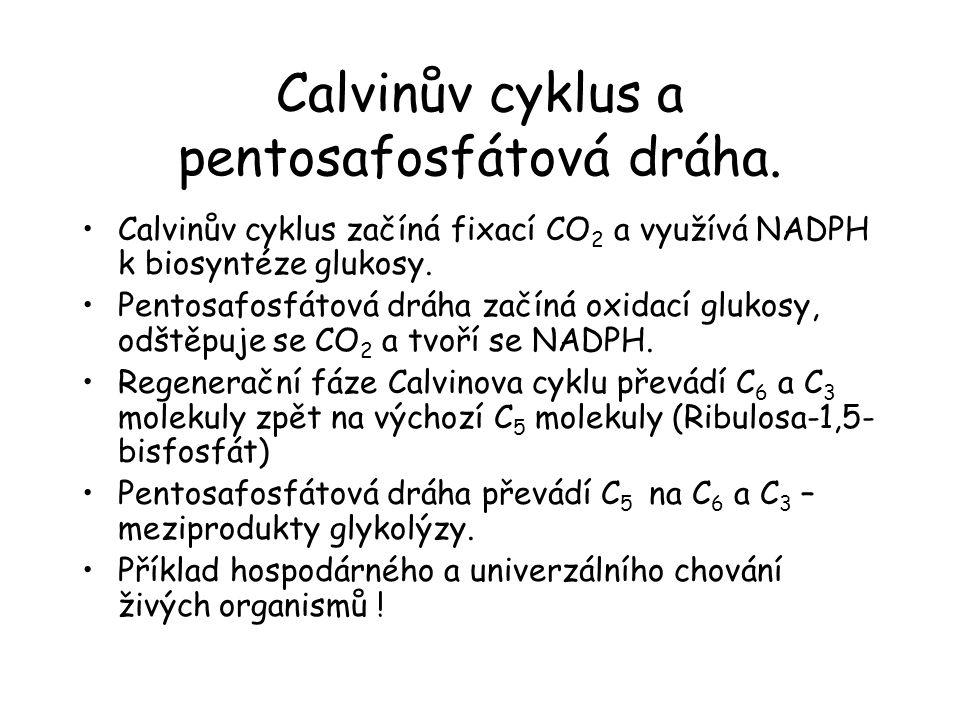 Calvinův cyklus a pentosafosfátová dráha. Calvinův cyklus začíná fixací CO 2 a využívá NADPH k biosyntéze glukosy. Pentosafosfátová dráha začíná oxida