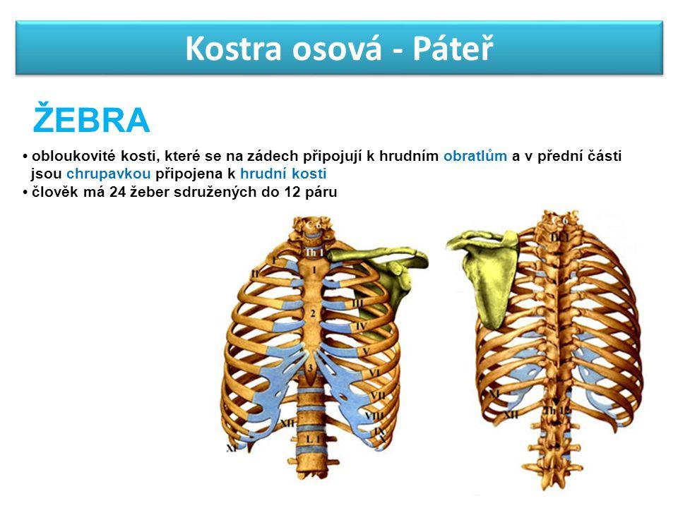 Kostra osová - Páteř obloukovité kosti, které se na zádech připojují k hrudním obratlům a v přední části jsou chrupavkou připojena k hrudní kosti člov
