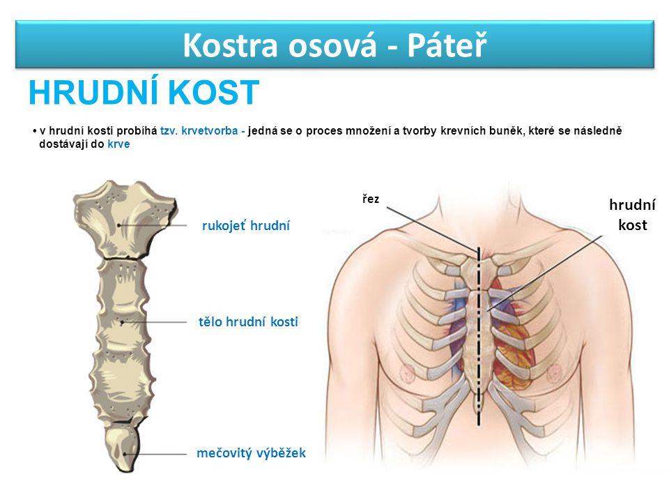 Kostra osová - Páteř HRUDNÍ KOST rukojeť hrudní tělo hrudní kosti mečovitý výběžek hrudní kost v hrudní kosti probíhá tzv. krvetvorba - jedná se o pro