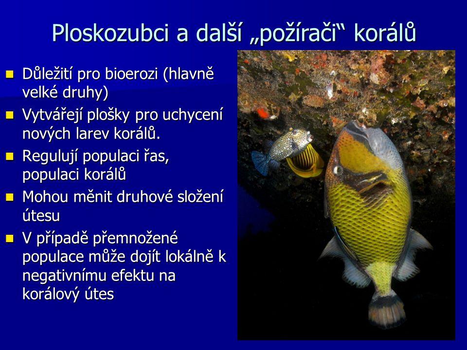 Důležití pro bioerozi (hlavně velké druhy) Důležití pro bioerozi (hlavně velké druhy) Vytvářejí plošky pro uchycení nových larev korálů. Vytvářejí plo