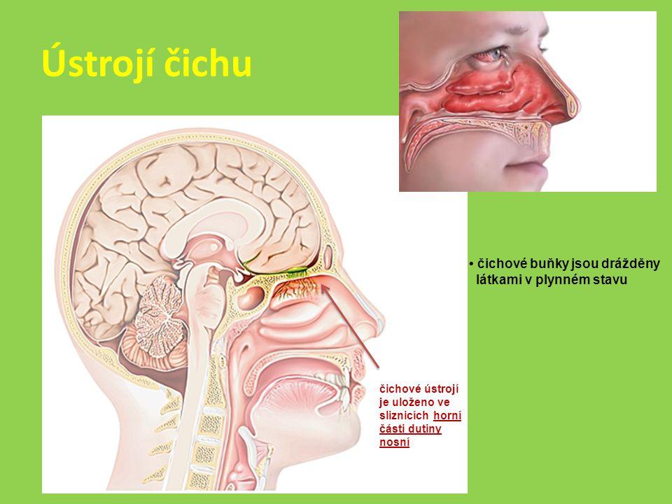Ústrojí čichu čichové ústrojí je uloženo ve sliznicích horní části dutiny nosní čichové buňky jsou drážděny látkami v plynném stavu