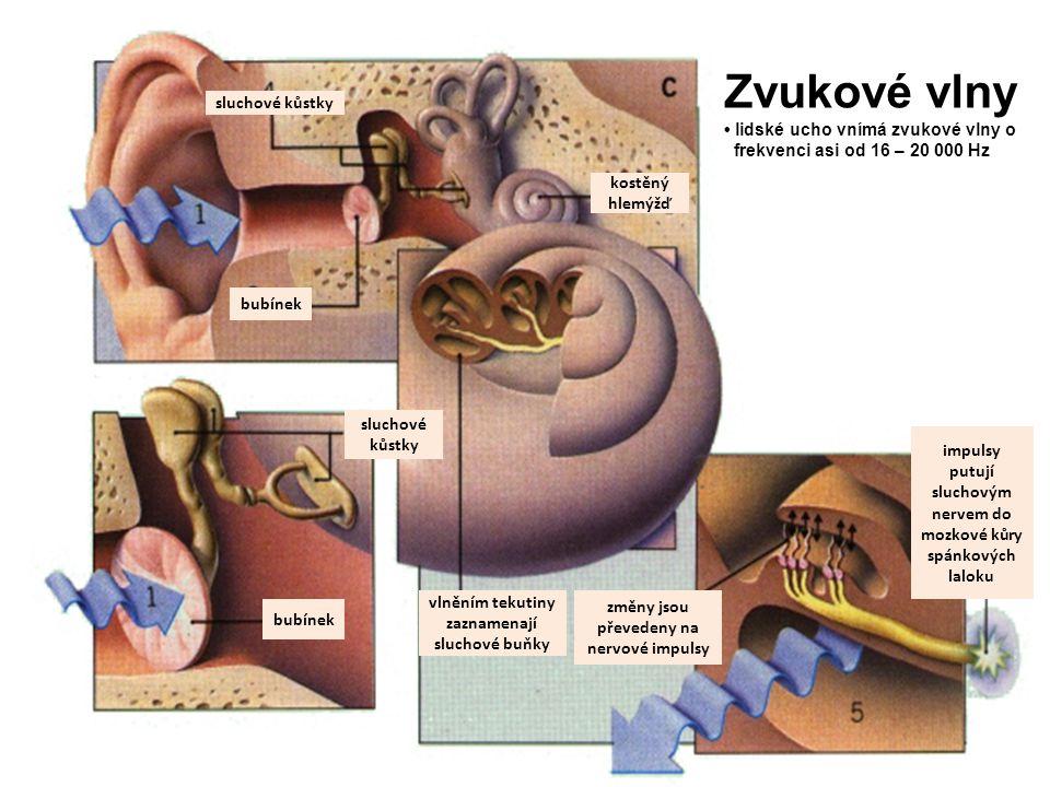 sluchové kůstky bubínek kostěný hlemýžď bubínek sluchové kůstky vlněním tekutiny zaznamenají sluchové buňky změny jsou převedeny na nervové impulsy im