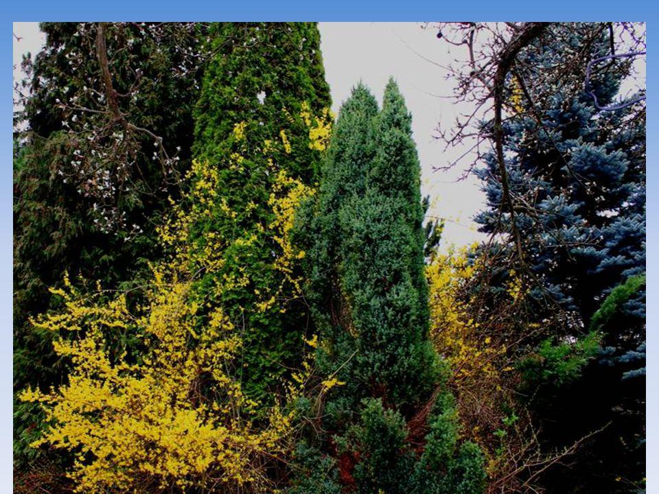 Zlatý déšť krášlí můj lesík