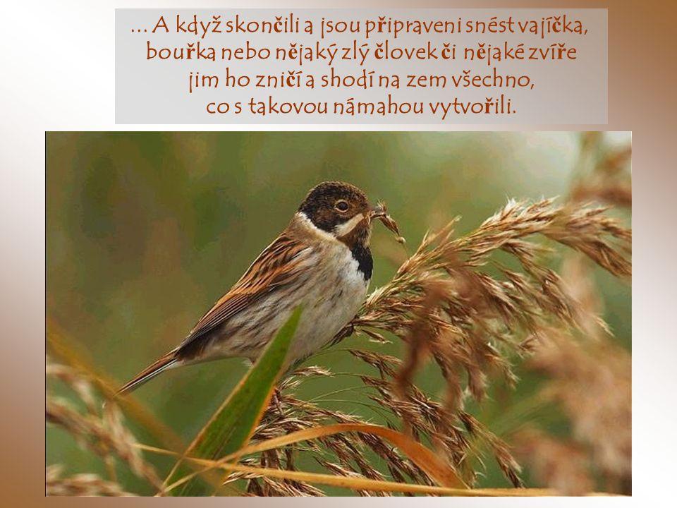 V pr ů b ě hu mnoha dní si p ř ipravují hnízda, ukládají materiál č asto p ř inesený z velké dálky…