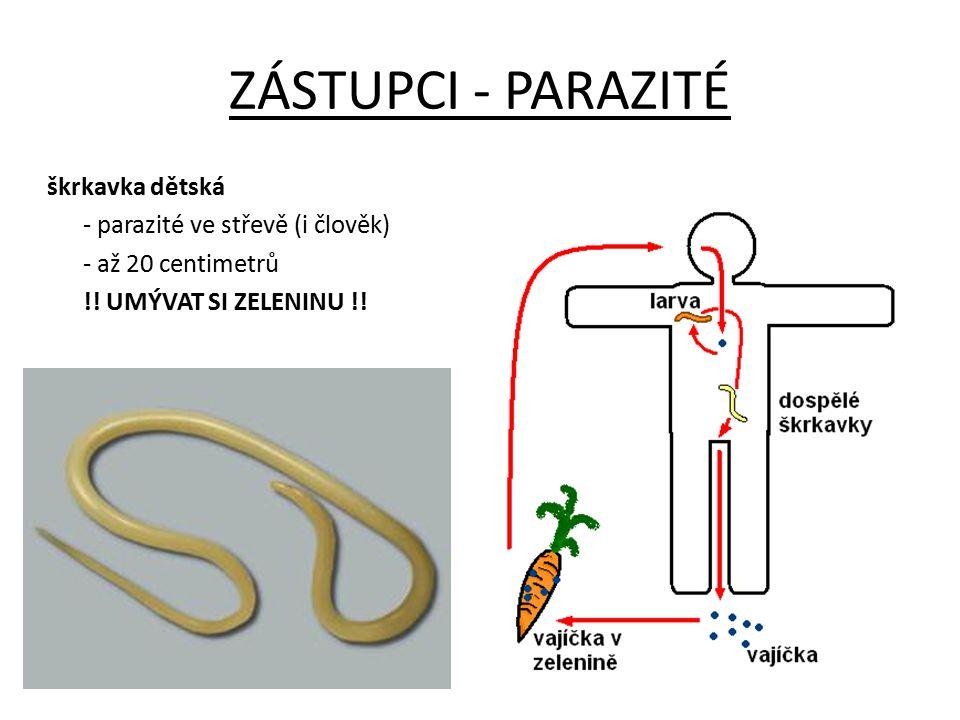 ZÁSTUPCI - PARAZITÉ škrkavka dětská - parazité ve střevě (i člověk) - až 20 centimetrů !.