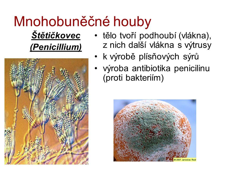Mnohobuněčné houby Štětičkovec (Penicillium) tělo tvoří podhoubí (vlákna), z nich další vlákna s výtrusy k výrobě plísňových sýrů výroba antibiotika p