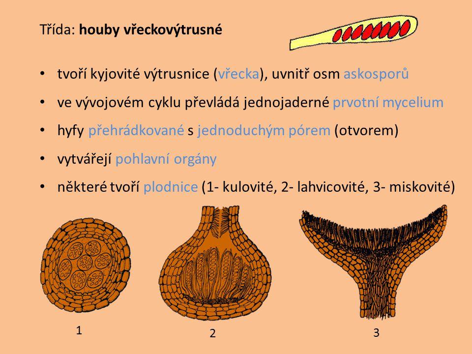 Třída: houby vřeckovýtrusné tvoří kyjovité výtrusnice (vřecka), uvnitř osm askosporů ve vývojovém cyklu převládá jednojaderné prvotní mycelium hyfy př