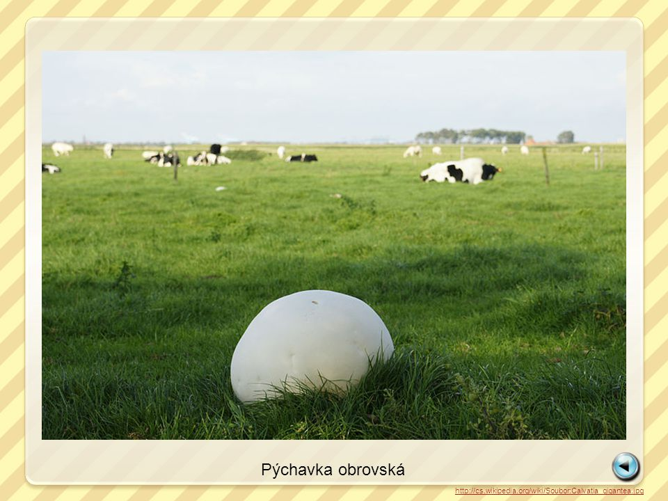 http://cs.wikipedia.org/wiki/Soubor:Calvatia_gigantea.jpg Pýchavka obrovská