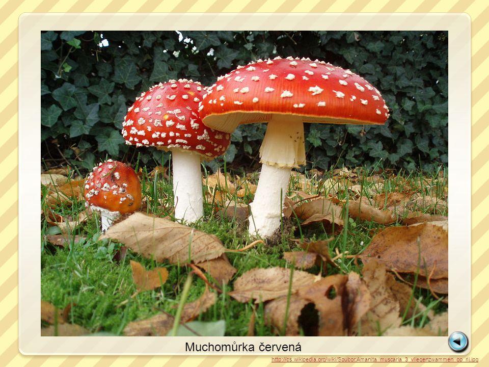 http://cs.wikipedia.org/wiki/Soubor:Amanita_muscaria_3_vliegenzwammen_op_rij.jpg Muchomůrka červená