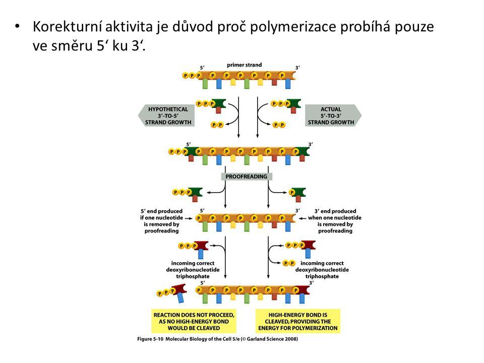 Korekturní aktivita je důvod proč polymerizace probíhá pouze ve směru 5' ku 3'.