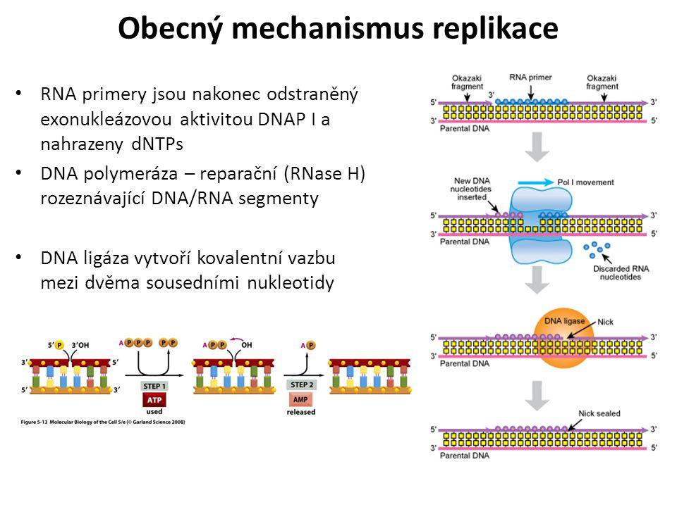 RNA primery jsou nakonec odstraněný exonukleázovou aktivitou DNAP I a nahrazeny dNTPs DNA polymeráza – reparační (RNase H) rozeznávající DNA/RNA segme