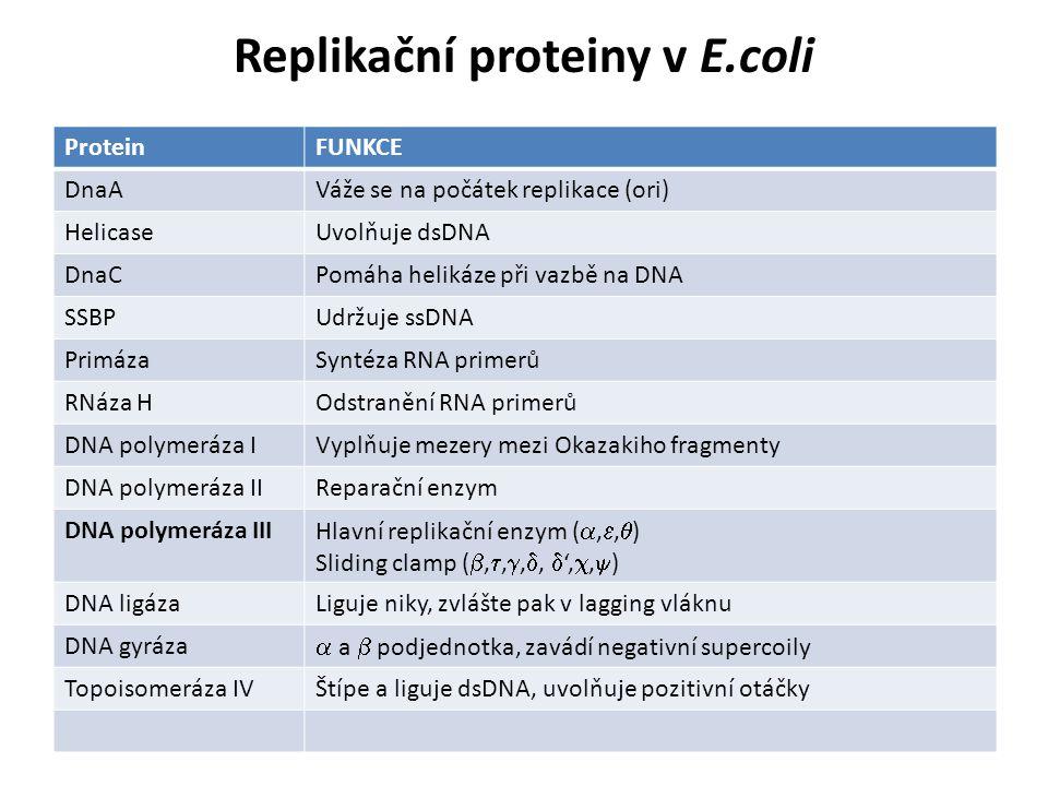 Replikační proteiny v E.coli ProteinFUNKCE DnaAVáže se na počátek replikace (ori) HelicaseUvolňuje dsDNA DnaCPomáha helikáze při vazbě na DNA SSBPUdrž