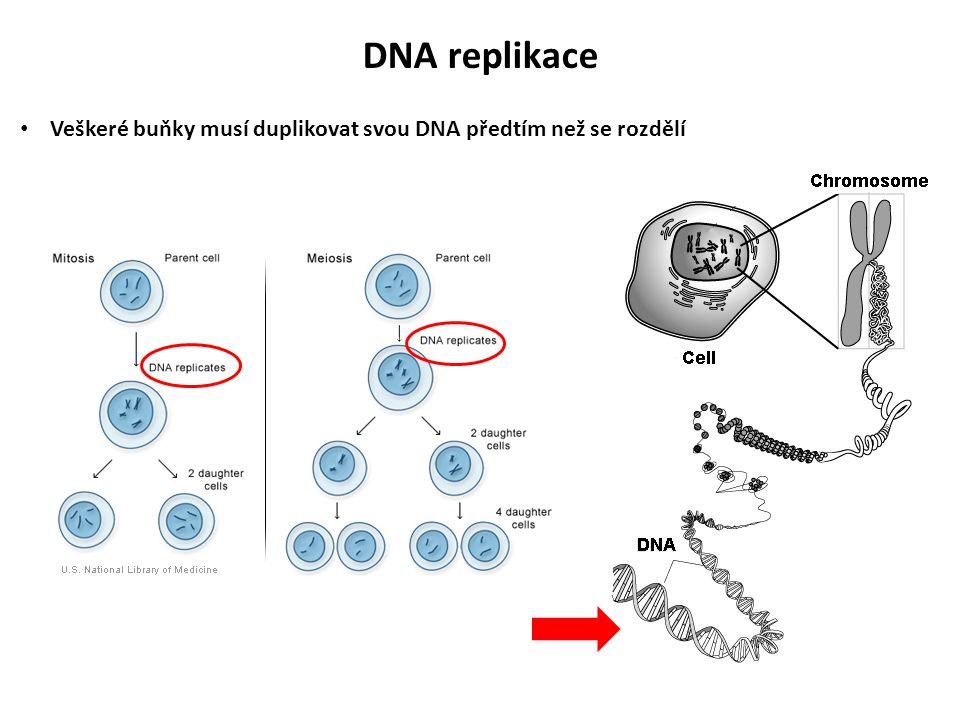 DNA musí být rozdělena na 2 vlákna Každé vlákno je replikováno (původní vlákno slouží jako templát) – replikace je semikonzervativní Watson-Crick párování (A s T, G s C) DNA replikace