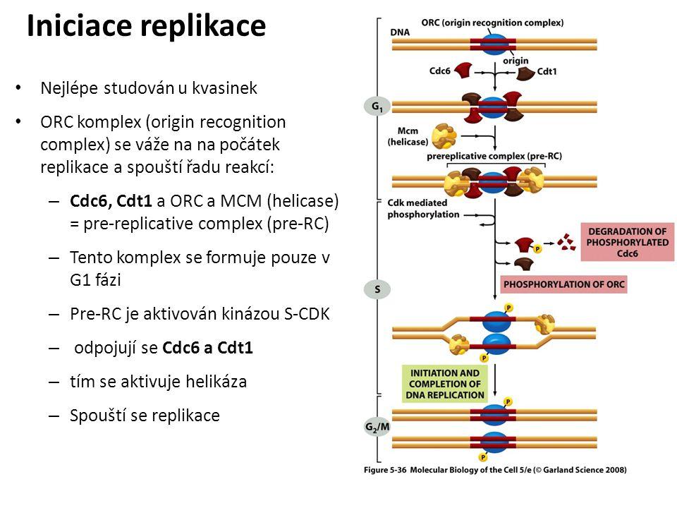 Iniciace replikace Nejlépe studován u kvasinek ORC komplex (origin recognition complex) se váže na na počátek replikace a spouští řadu reakcí: – Cdc6,