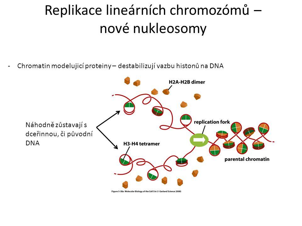 Replikace lineárních chromozómů – nové nukleosomy -Chromatin modelujicí proteiny – destabilizují vazbu histonů na DNA Náhodně zůstavají s dceřinnou, č