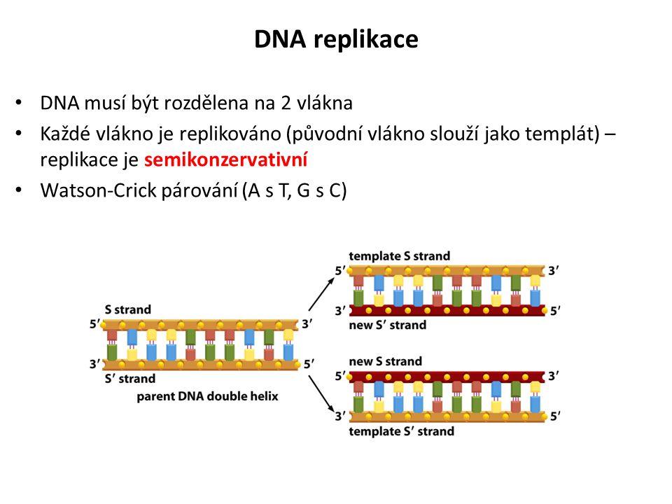 DNA musí být rozdělena na 2 vlákna Každé vlákno je replikováno (původní vlákno slouží jako templát) – replikace je semikonzervativní Watson-Crick páro