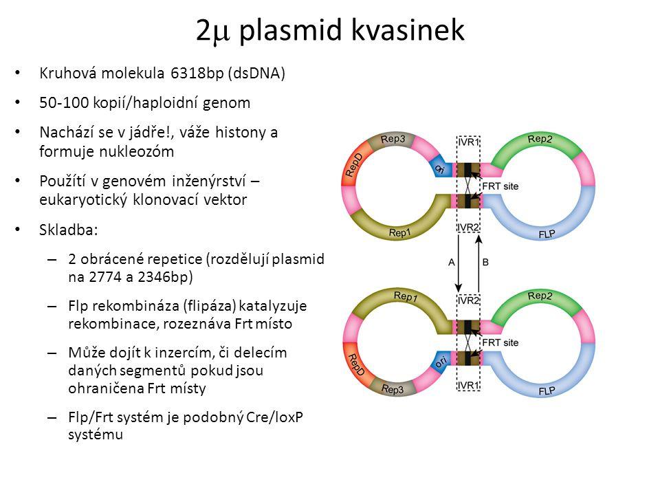 2  plasmid kvasinek Kruhová molekula 6318bp (dsDNA) 50-100 kopií/haploidní genom Nachází se v jádře!, váže histony a formuje nukleozóm Použítí v geno