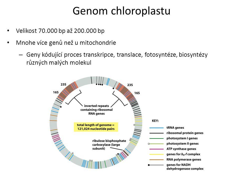 Genom chloroplastu Velikost 70.000 bp až 200.000 bp Mnohe více genů než u mitochondrie – Geny kódující proces transkripce, translace, fotosyntéze, bio