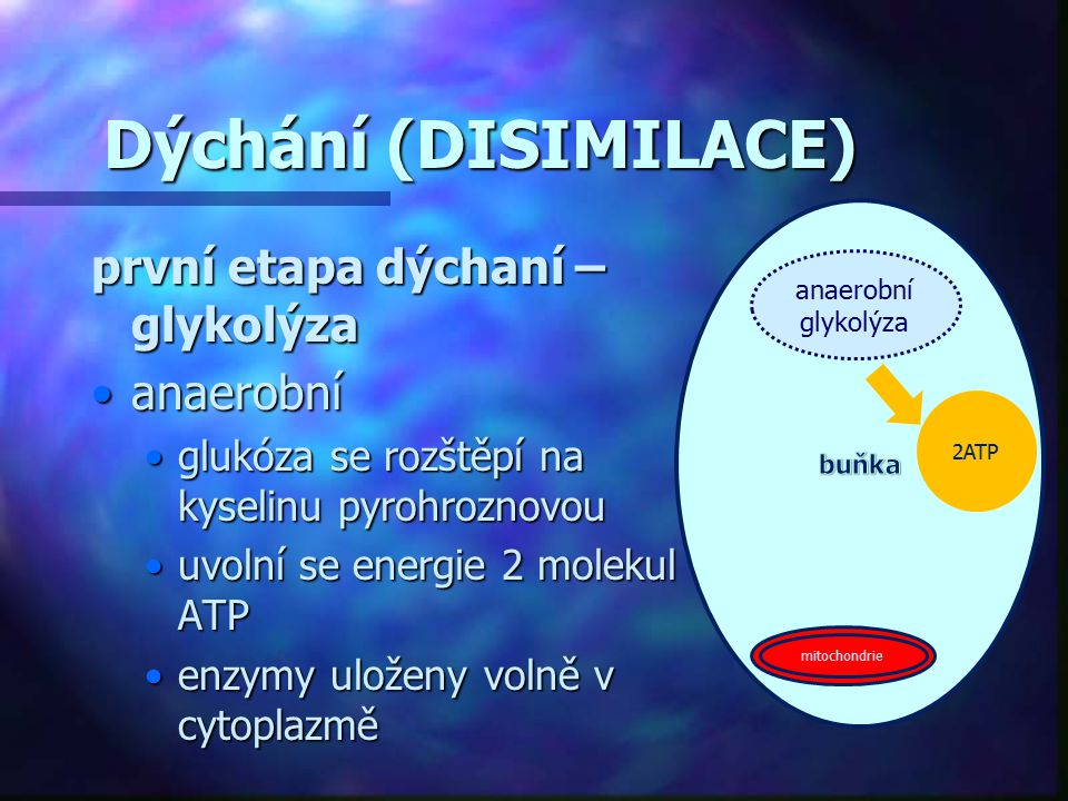 Dýchání (DISIMILACE) první etapa dýchaní – glykolýza anaerobníanaerobní glukóza se rozštěpí na kyselinu pyrohroznovouglukóza se rozštěpí na kyselinu p