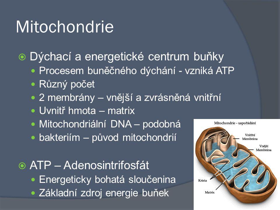 Mitochondrie  Dýchací a energetické centrum buňky Procesem buněčného dýchání - vzniká ATP Různý počet 2 membrány – vnější a zvrásněná vnitřní Uvnitř