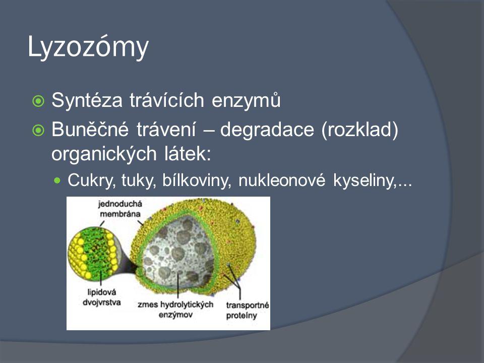 Lyzozómy  Syntéza trávících enzymů  Buněčné trávení – degradace (rozklad) organických látek: Cukry, tuky, bílkoviny, nukleonové kyseliny,...