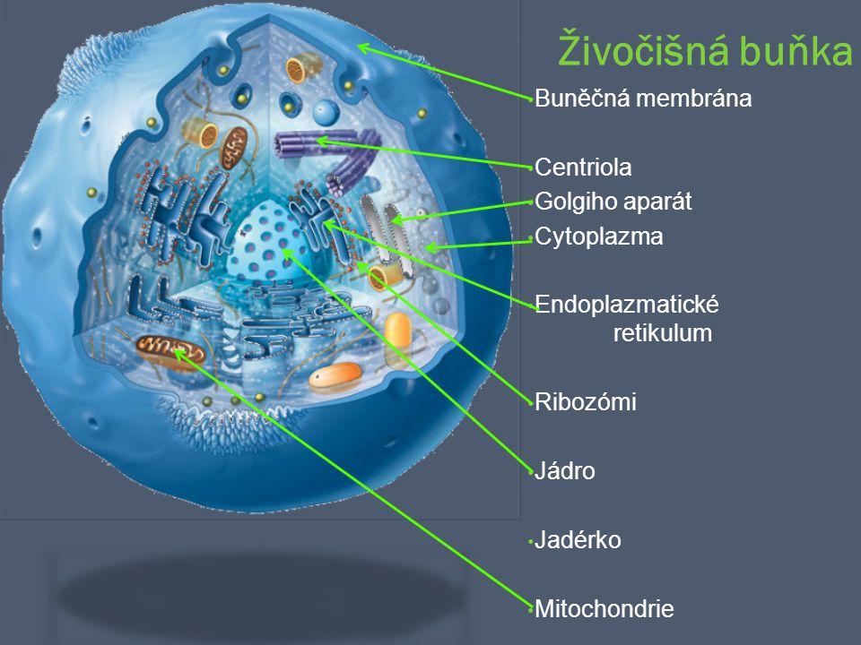 Živočišná buňka Buněčná membrána Centriola Golgiho aparát Cytoplazma Endoplazmatické retikulum Ribozómi Jádro Jadérko Mitochondrie