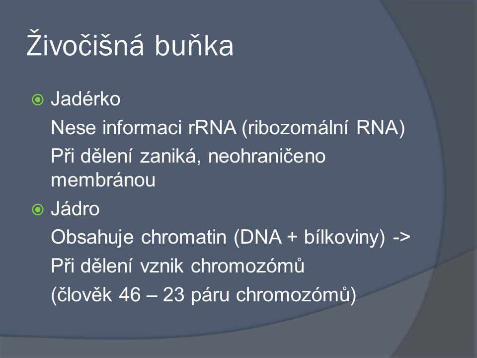 Živočišná buňka  Jadérko Nese informaci rRNA (ribozomální RNA) Při dělení zaniká, neohraničeno membránou  Jádro Obsahuje chromatin (DNA + bílkoviny)