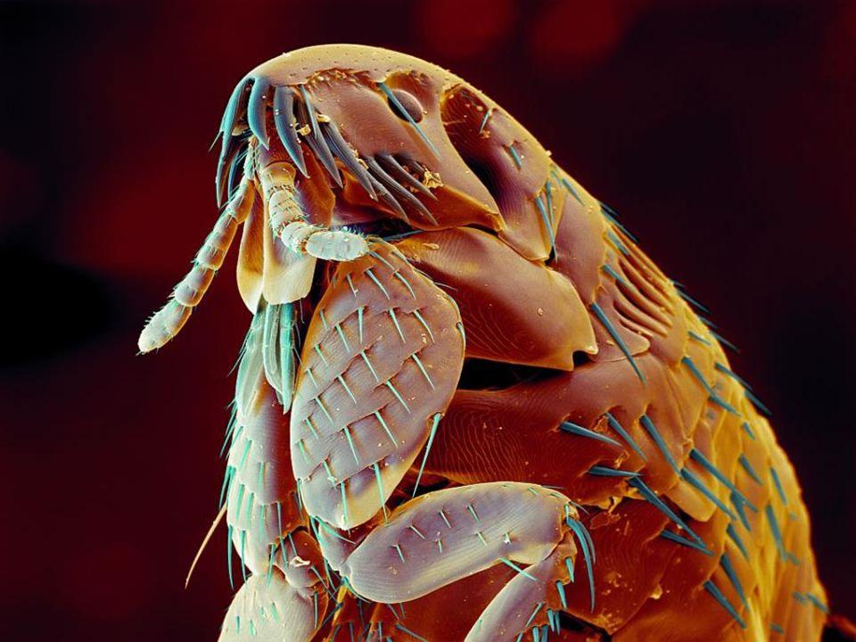 Poté co štěnice nasaje tolik krve, aby zdvojnásobila svou hmotnost, naklade během života cca 50-200 vajíček, která ukládá do skulin ve stěnách, v podlaze, nebo v posteli.