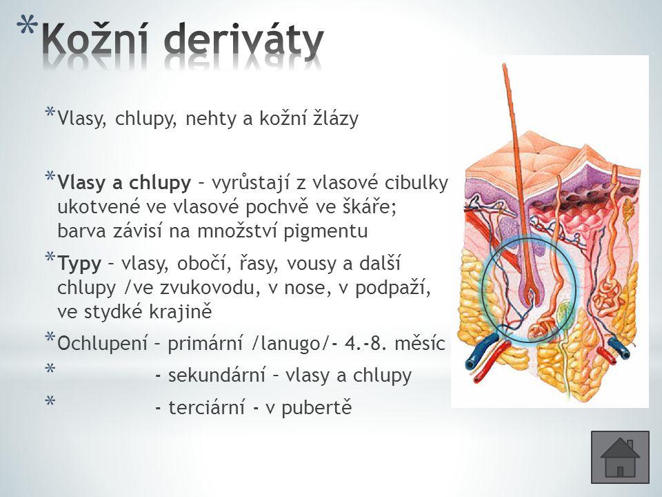 * Vlasy, chlupy, nehty a kožní žlázy * Vlasy a chlupy – vyrůstají z vlasové cibulky ukotvené ve vlasové pochvě ve škáře; barva závisí na množství pigmentu * Typy – vlasy, obočí, řasy, vousy a další chlupy /ve zvukovodu, v nose, v podpaží, ve stydké krajině * Ochlupení – primární /lanugo/- 4.-8.