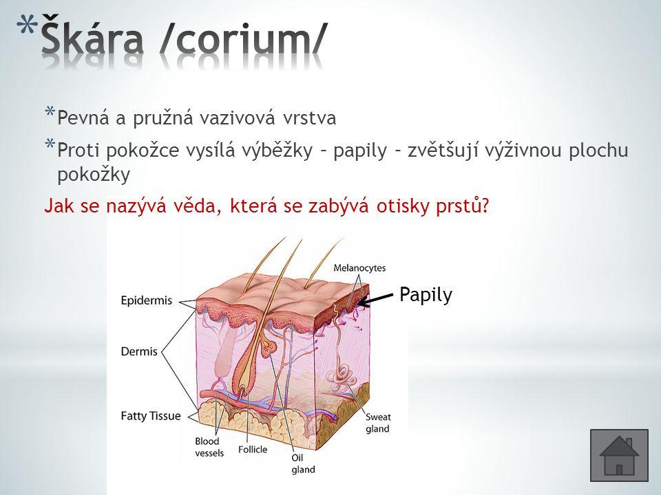 * Pevná a pružná vazivová vrstva * Proti pokožce vysílá výběžky – papily – zvětšují výživnou plochu pokožky Jak se nazývá věda, která se zabývá otisky prstů.