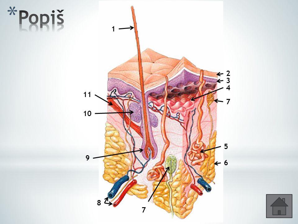 * Hmatová /Meissnerova/ tělíska – dotykové čití * Krauseova tělíska – receptory na chlad * Ruffiniho tělíska – receptory na teplo * Vater-Paciniho tělíska – receptory čití tahu a tlaku; vyskytují se v podkožním vazivu