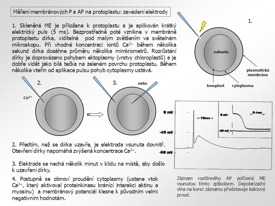 Měření membránových P a AP na protoplastu: zavedení elektrody Ca 2+ cytoplasmatonoplast plasmatická membrána vakuola 1. Skleněná ME je přiložena k pro