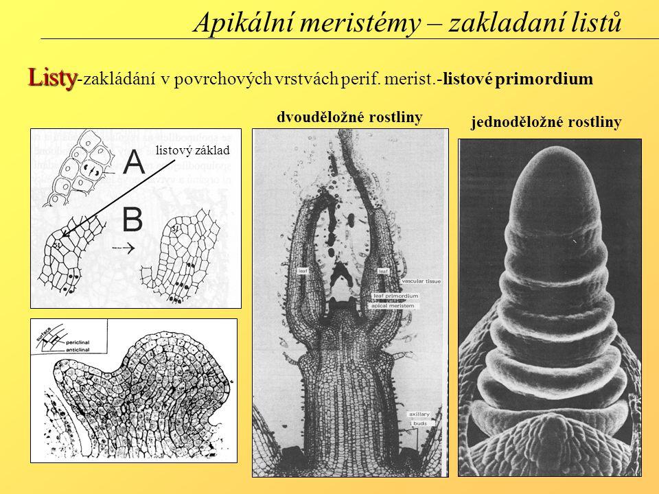 Apikální meristémy – zakladaní listů Listy Listy -zakládání v povrchových vrstvách perif. merist.-listové primordium dvouděložné rostliny jednoděložné