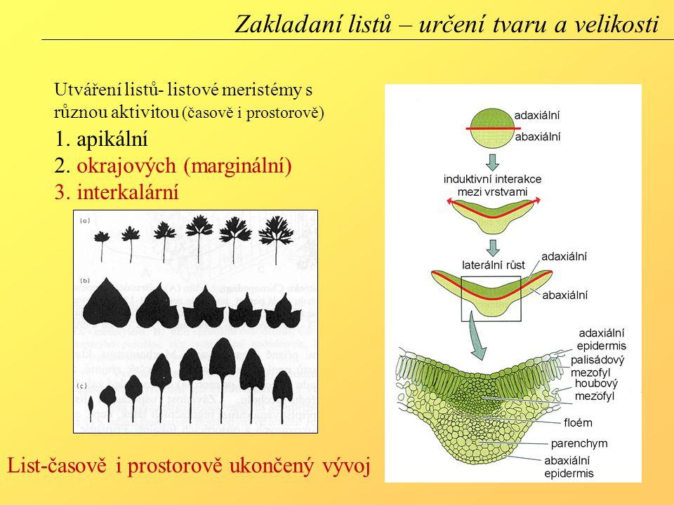 Utváření listů- listové meristémy s různou aktivitou (časově i prostorově) 1. apikální 2. okrajových (marginální) 3. interkalární Zakladaní listů – ur